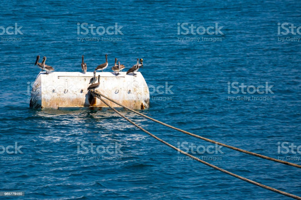 Group of a pelicans on the mooring bouy. stock photo