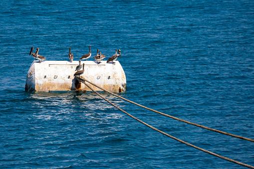 Groep Een Pelikanen Op De Ligplaats Bouy Stockfoto en meer beelden van Blauw