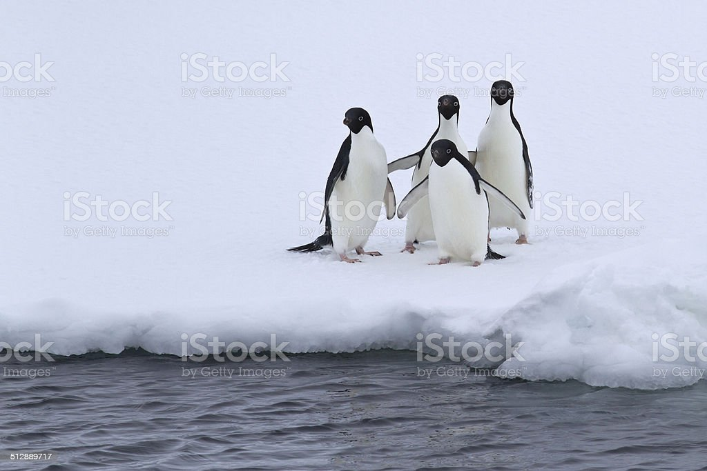 group of Adelie penguins are standing on the edge of the ice stock photo