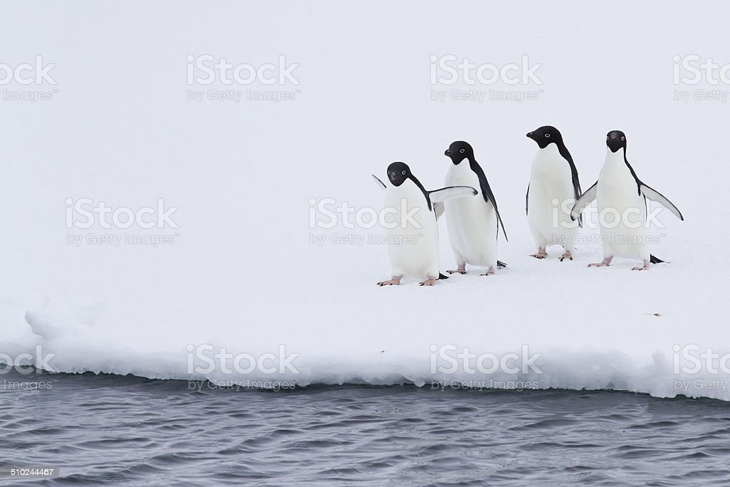 group of Adelie penguins on the ice near open water stock photo