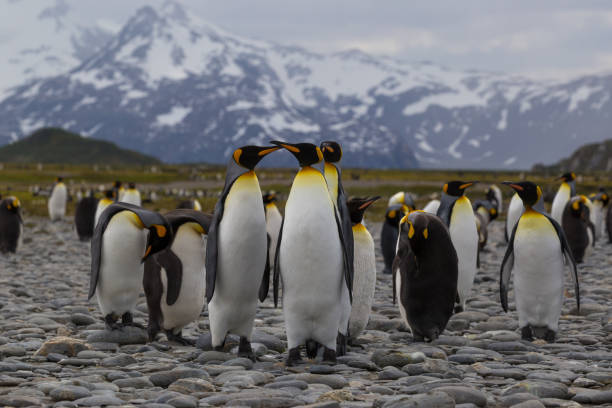 A group of adolescant King Penguin fight on a beach in South Georgia Island stock photo