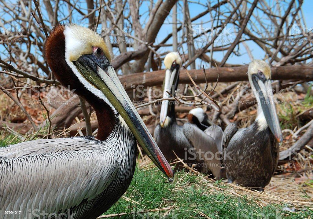 Group of Adult Brown Pelicans (Pelecanus occidentalis) Hide in Driftwood royalty free stockfoto