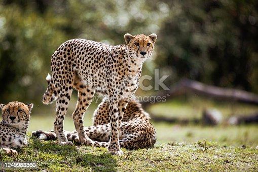 Group of Masai Mara cheetahs in nature.