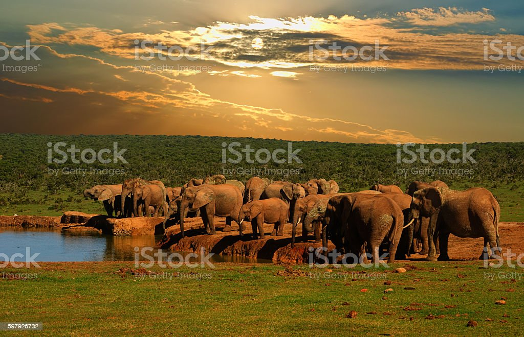 Group of African elephant drinking at the water hole stock photo