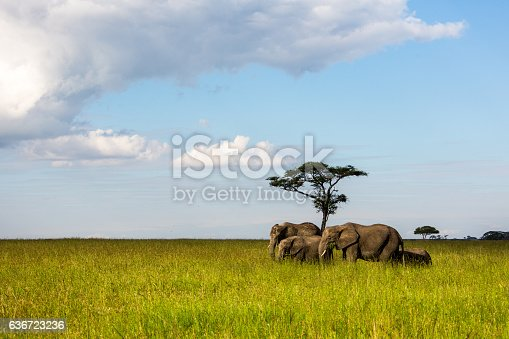 African elephants are grazing in the Serengeti Nationalpark, Tanzania, Wildlife shot,Copy space