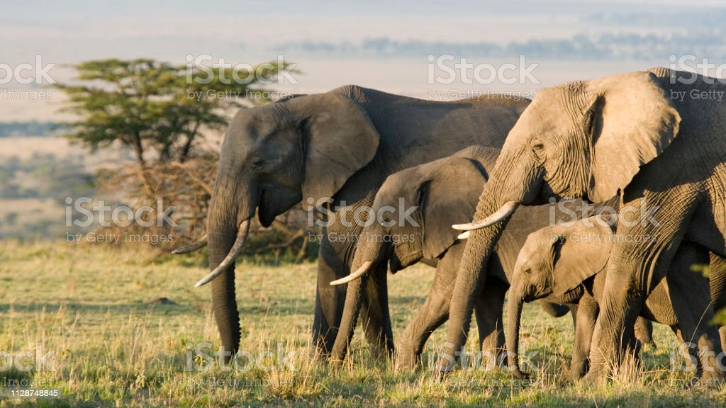 Group of African elephants in the wild African Elephants on the Masai Mara, Kenya, Africa Africa Stock Photo