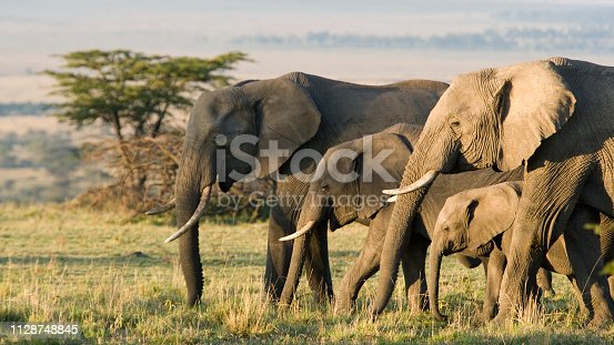 istock Group of African elephants in the wild 1128748845