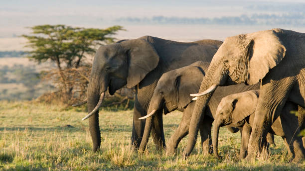 Group of African elephants in the wild African Elephants on the Masai Mara, Kenya, Africa wildlife reserve stock pictures, royalty-free photos & images