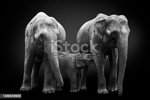 African elephants inhabiting  South Africa on monochrome black background, black and white. Artistic processing, fine art.