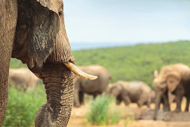 Group of african elephants stock photo