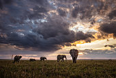 African elephants walking in the wild at sunset. Copy space.