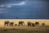 Large group of  African elephants walking in the wild. Copy space.