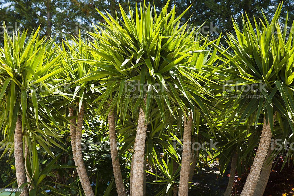 Group of Agave Trees in Sinlight stock photo