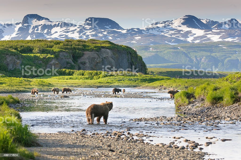 Group of Alaska Brown Bears Fishing Salmon at McNeil River stock photo