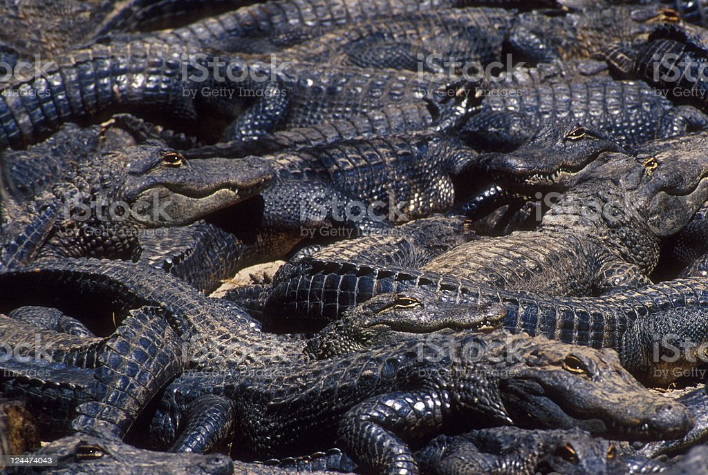 Group of American Alligators stock photo