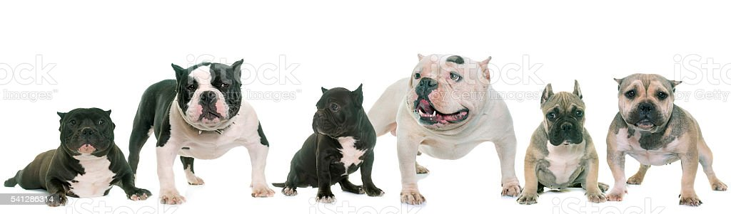 group of american bully stock photo