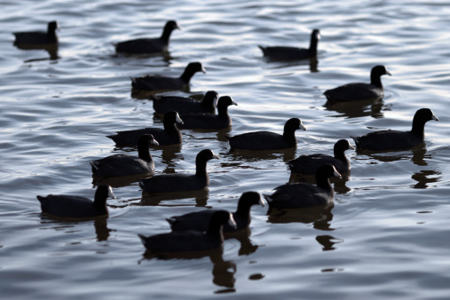 istock Group of American Coot 151558848