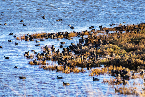 istock A group of American Coots on the shores of south San Francisco bay area, California 1130619321