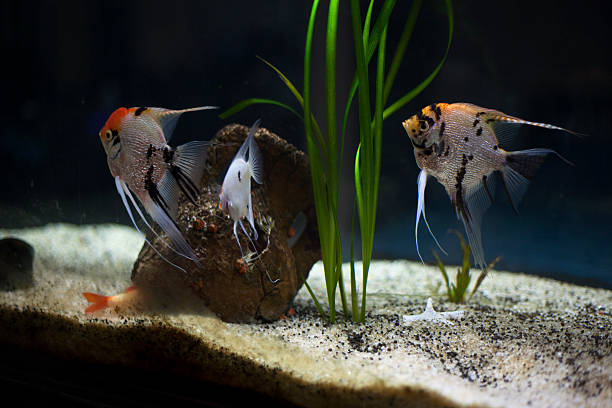 group of angelfish - home aquarium stock photos and pictures
