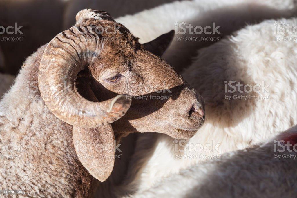 Group Of Animals In Livestock Market For Eid Al-Adha Or Kurban Bayrami stock photo
