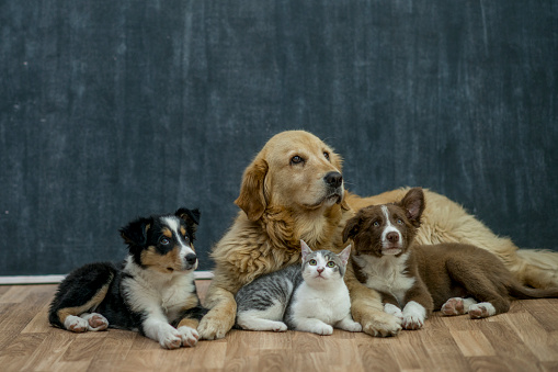 A group of animals are getting adopted by families to take home. A golden retriever, kitten, and two dogs are lying on the floor.