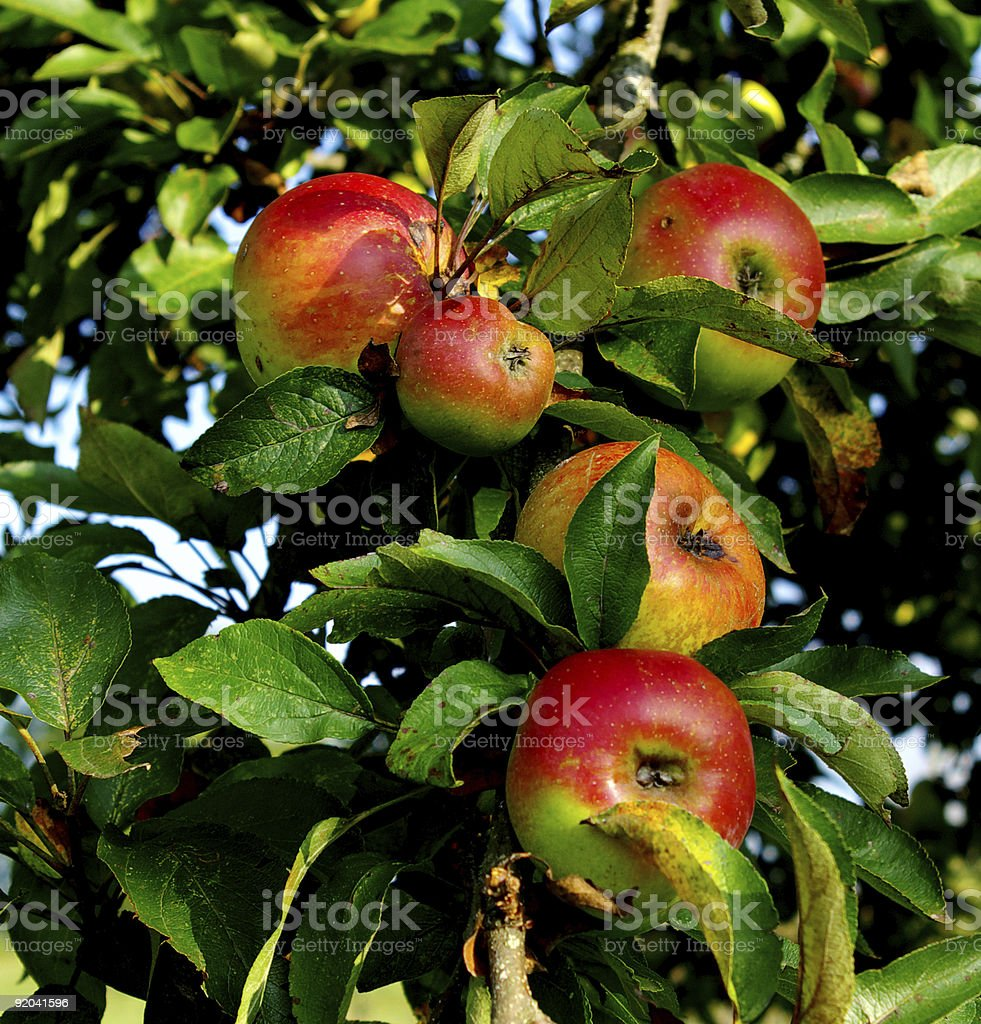 Group of apples on a branch royalty-free stock photo