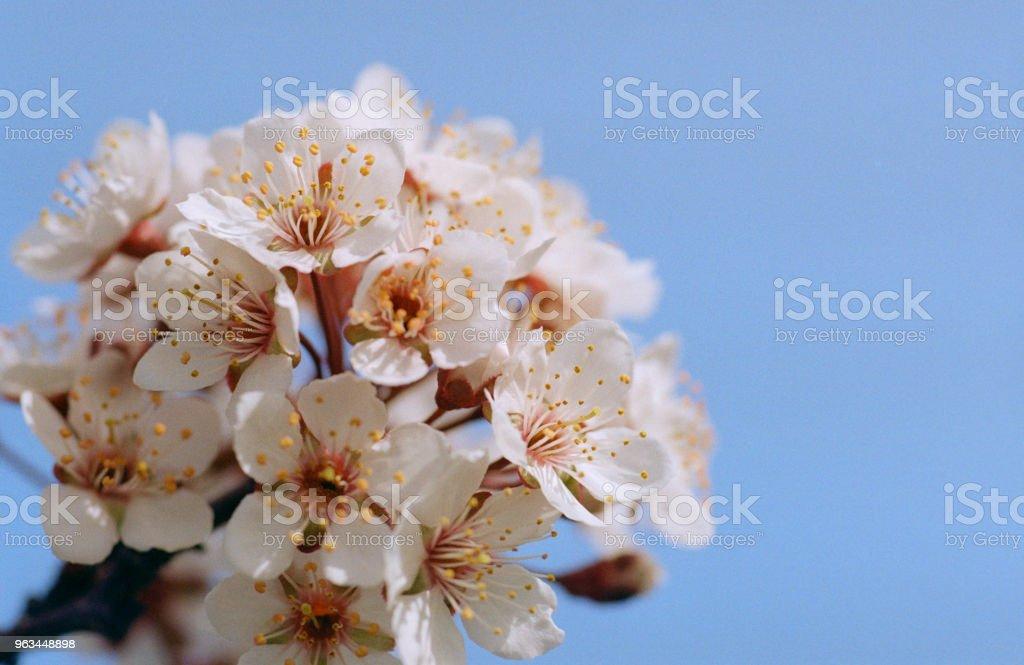 Kayısı ağacı çiçek gökyüzü arka plan üzerinde grubudur. Filmde vurdu - Royalty-free Ağaç Stok görsel