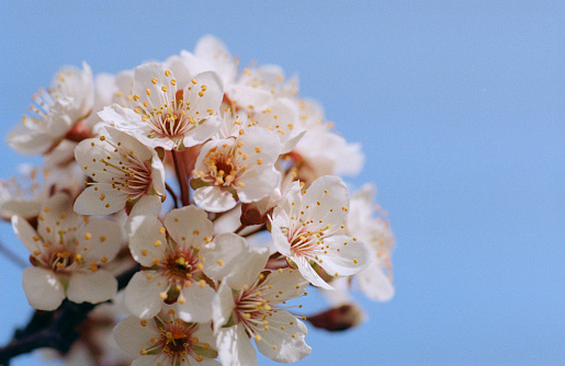 Kayısı Ağacı Çiçek Gökyüzü Arka Plan Üzerinde Grubudur Filmde Vurdu Stok Fotoğraflar & Ağaç'nin Daha Fazla Resimleri