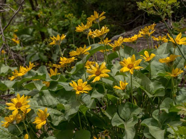 Group of arrowleaf balsamroof flowers in Colorado stock photo