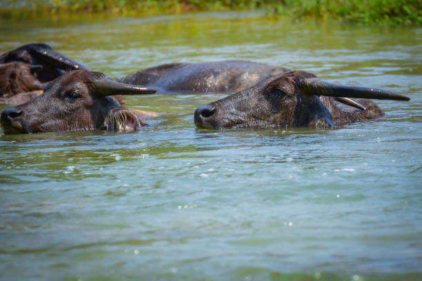 A group of Asia Buffalo is soaking in water pool stock photo