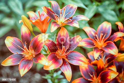 group of asiatic orange and red lilies in the garden