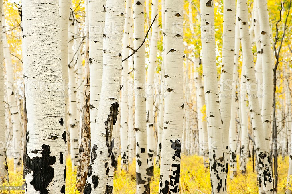 Group of aspens during fall stock photo