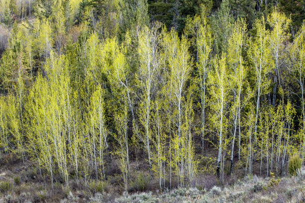 Group of aspens with yellow leaves. stock photo