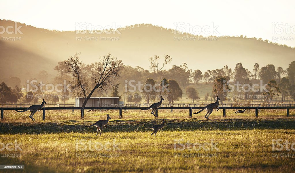 Group of australian kangaroos stock photo