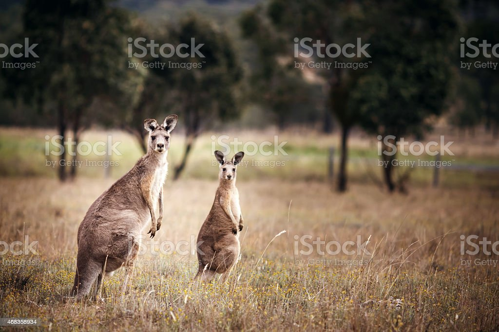Group of australian kangaroos royalty-free stock photo