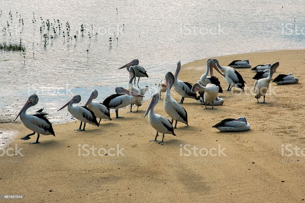 Group of Australian pelicans relaxing on the beach stock photo