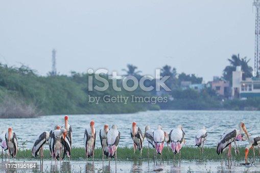 Group of Australian Pelicans Standing on Lakeside