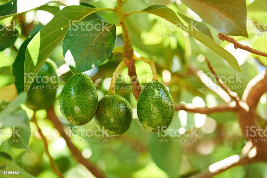 Group of avocado hang on tree stock photo