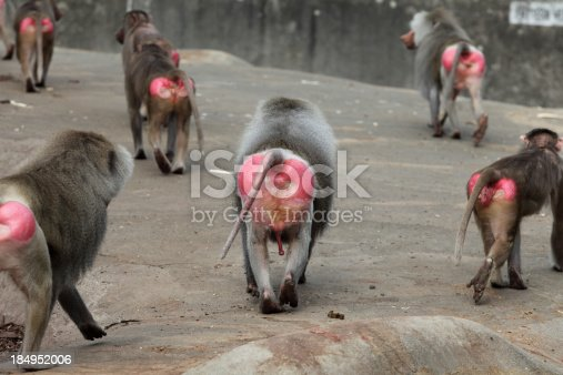 Group of baboons showing their pretty bottoms while passing by.