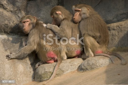 Three baboons in zoo sitting in a row on rock having social contact.