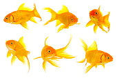 Group of baby face goldfish
