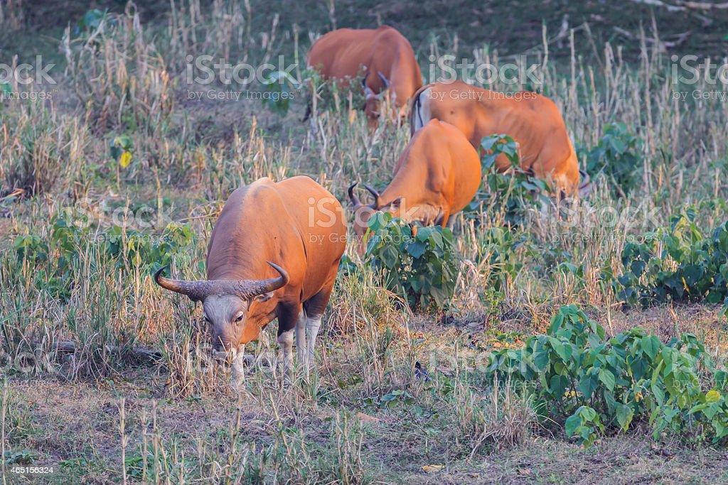 Group of  Banteng(Bos javanicus ) stock photo