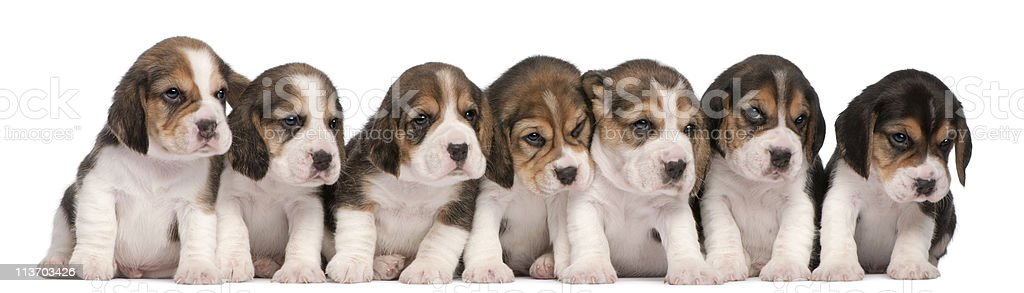 Group of Beagle puppies, sitting in a row, white background royalty-free stock photo