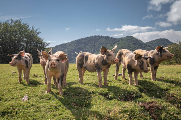 group of beautiful family of pigs searching and asking for food looking at camera - maiale ungulato foto e immagini stock
