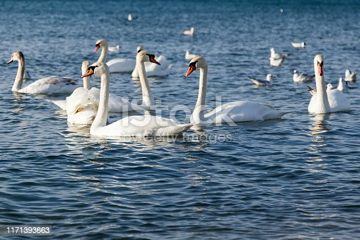 A group of beautiful white swans swim on the ice-free sea in winter. A place for wintering swans on a background of wild nature, selective focus in the center of the frame. Beautiful wildlife concept