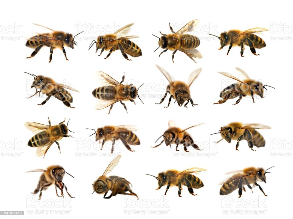 group of bee or honeybee, Apis Mellifera stock photo