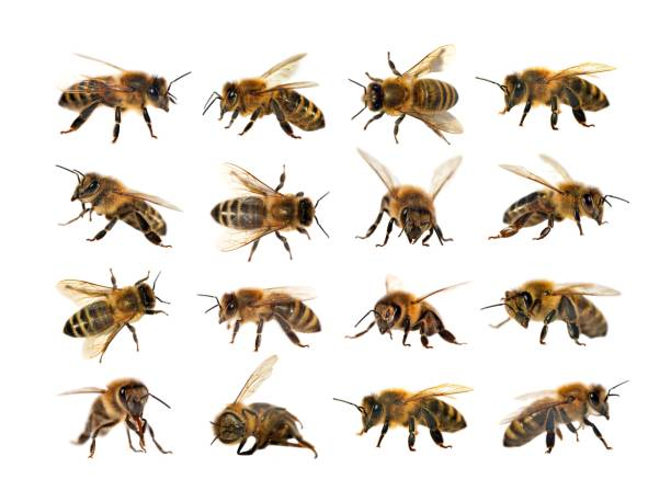 group of bee or honeybee, apis mellifera - ape foto e immagini stock