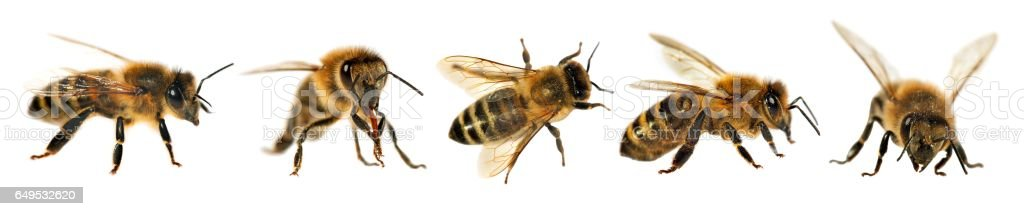 group of bee or honeybee, Apis Mellifera stock photo