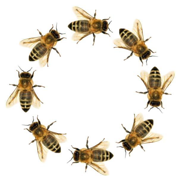Groupe d'abeille ou abeilles dans le cercle - Photo