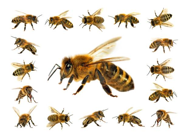 Groupe d'abeille ou abeille sur fond blanc, les abeilles à miel - Photo